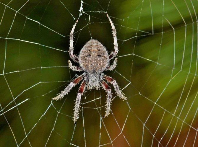 Домовые пауки