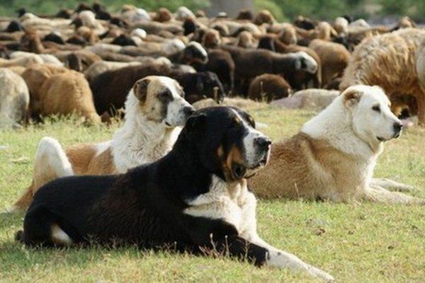Достаточно обучить алабая азам подгона скота, чтобы он быстро обрел уверенность и самостоятельность