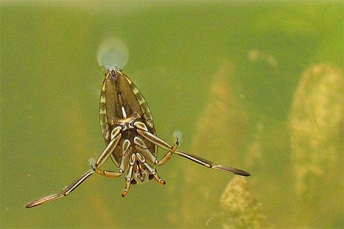 Довольно крупное насекомое, клоп гладыш кажется практически невесомым в толще воды