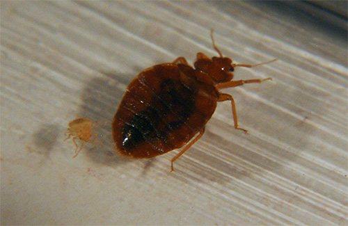Довольно сильный инсектицид в составе Клоповерона обеспечивает быстрый паралич и смерть клопов
