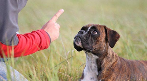 Дрессировка взрослой собаки