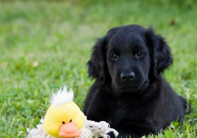 Дрессировку щенка начинают проводить с игрушкой
