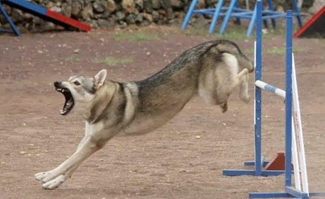 дрессура волчьей собаки сарлоса