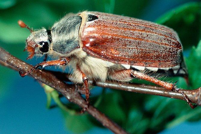 Древесные или разнодыхальцевые жуки