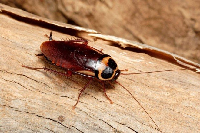 Древесный таракан