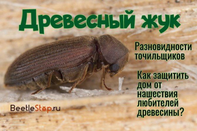 Древесный жук: