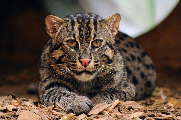 Другое название вида - виверровый кот
