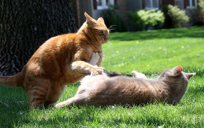 Два дерущихся рыжих кота, фото фотография