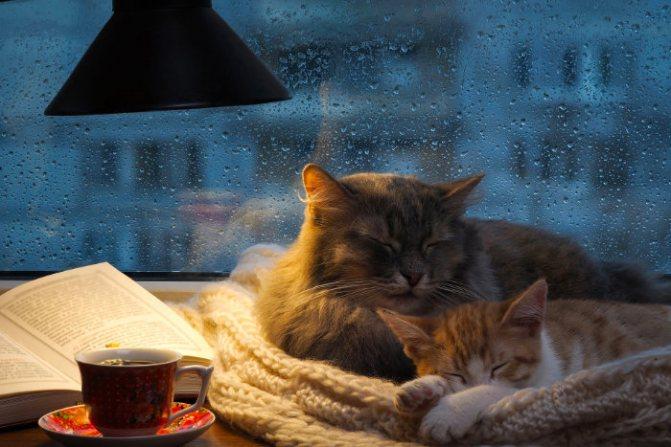 Два кота спят в обнимку с чаем