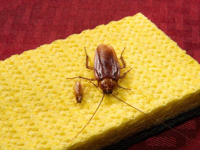два вида тараканов
