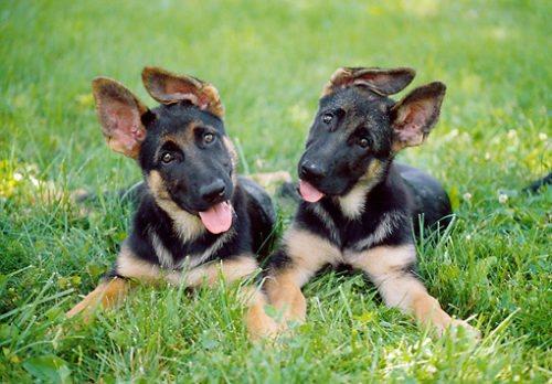Два забавных щенка немецкой овчарки