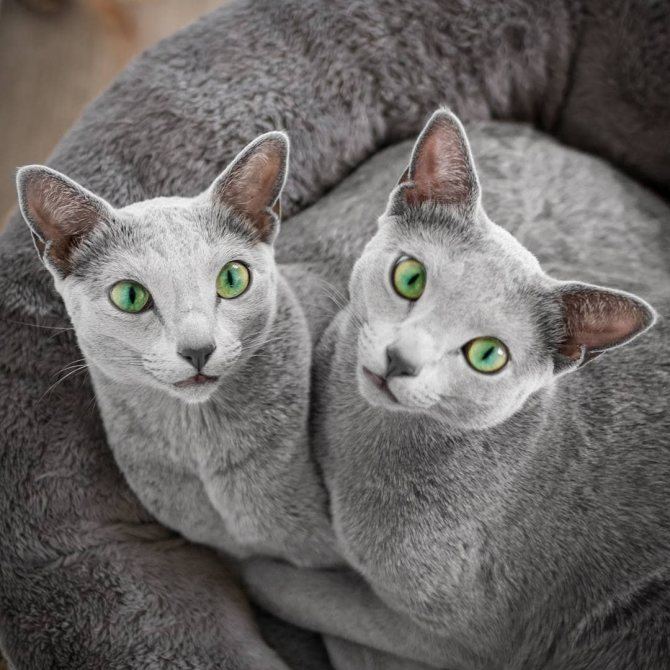 Две русских голубых кошки.
