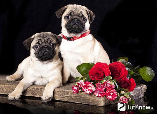 Две собаки породы мопс