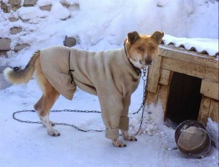 дворовая собака в кофте
