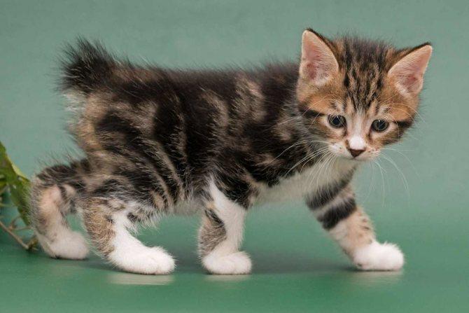 Двухмесячный котенок.