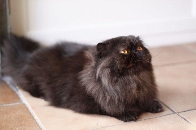 Дымчата персидская кошка фото.jpg