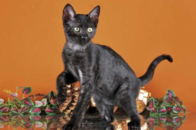 дымчатая египетская кошка