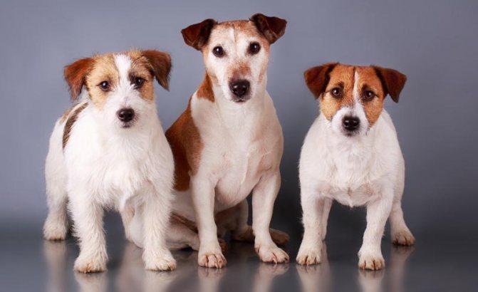 Джек Рассел Терьер фото собаки