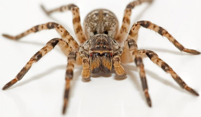 Джунгарский тарантул