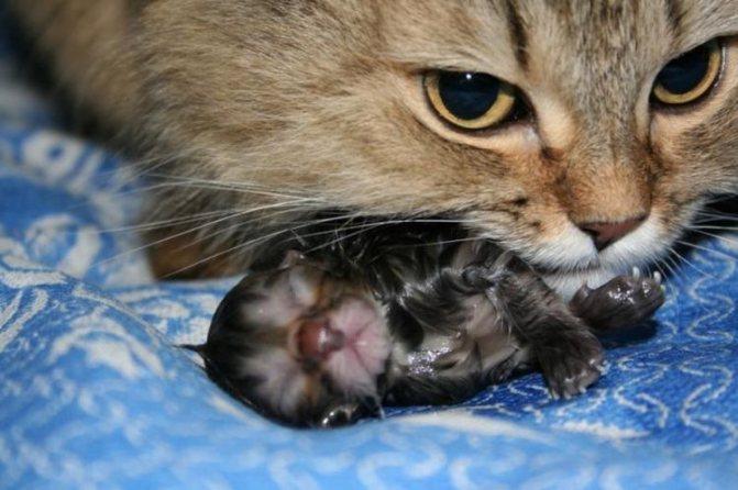 Едят ли кошки котят
