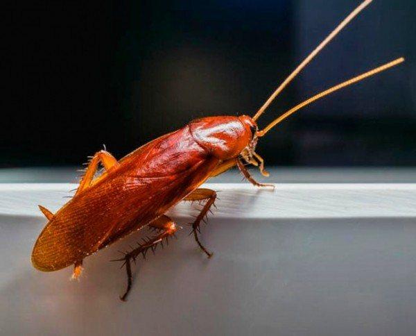 Эфирные масла и травы от тараканов