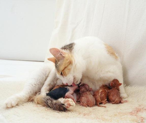 эклампсия у кошек симптомы