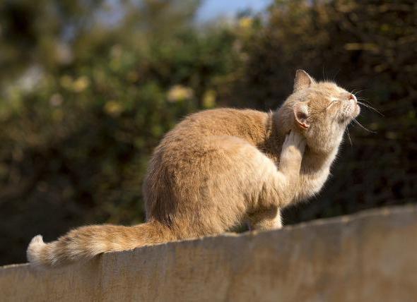 Эктопаразиты кошек
