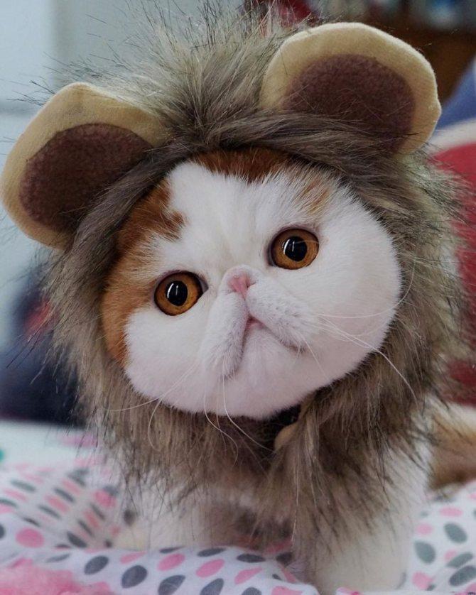 Экзотический короткошерстный кот Снупи