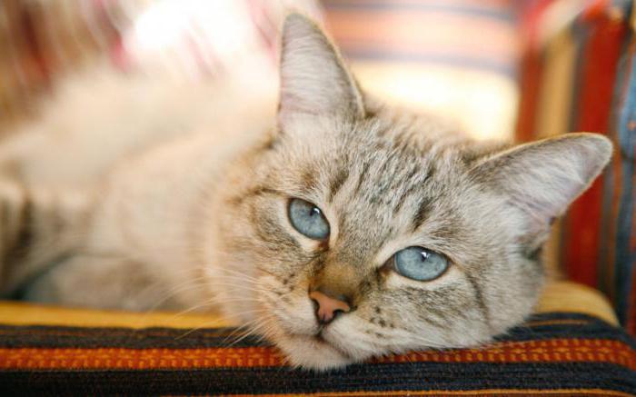 эозинофильная гранулема кошек симптомы
