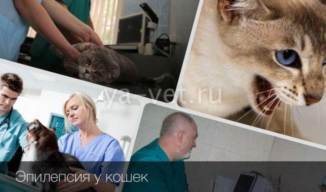 Эпилепсия у кошек: необходимое лечение и как прекратить приступы