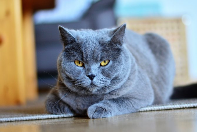 Эпилепсия у кошек