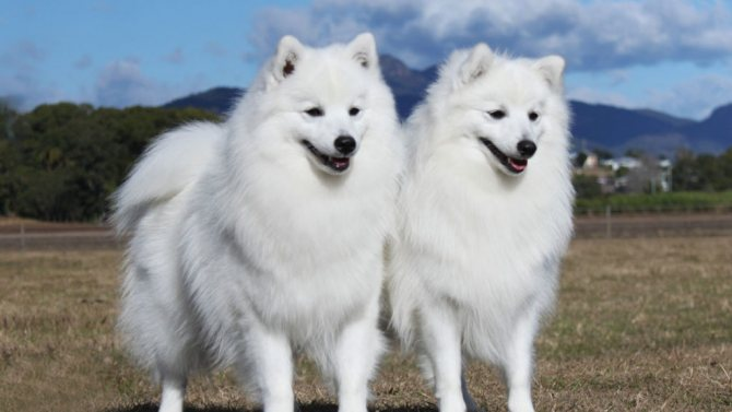 eskimo poroda 6 - Американская эскимосская собака: фото, описание породы