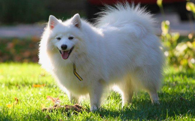 eskimo poroda - Американская эскимосская собака: фото, описание породы