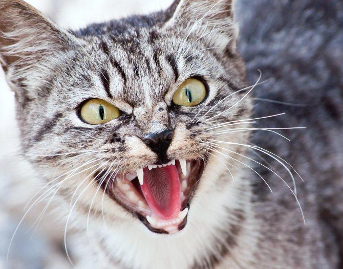 Если кошка вдруг стала проявлять агрессию в ответ на любые прикосновения к своим ушам, скорее всего у животного отит