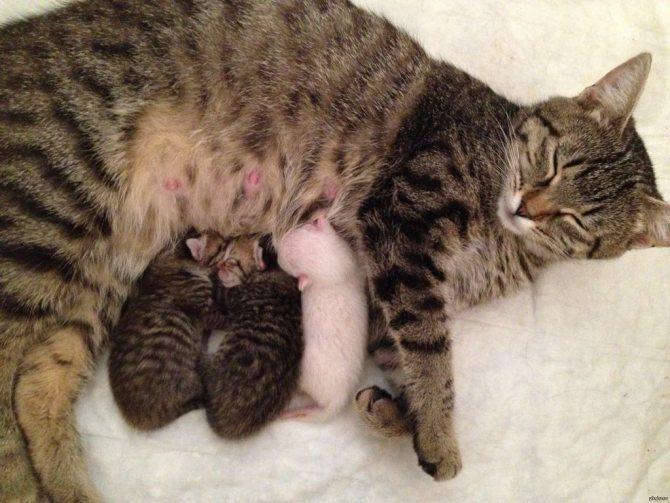 Если у кормящей матери нет эктопаразитов, то риск заражения новорожденных котят очень мал