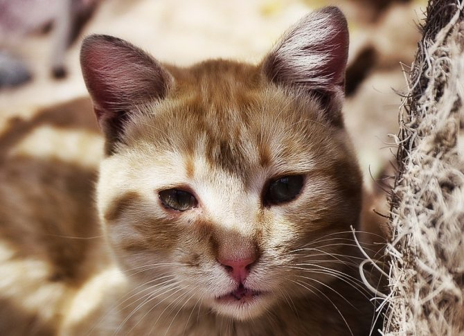 Если у кошки появилась рвота с кровью, возможно у нее глисты