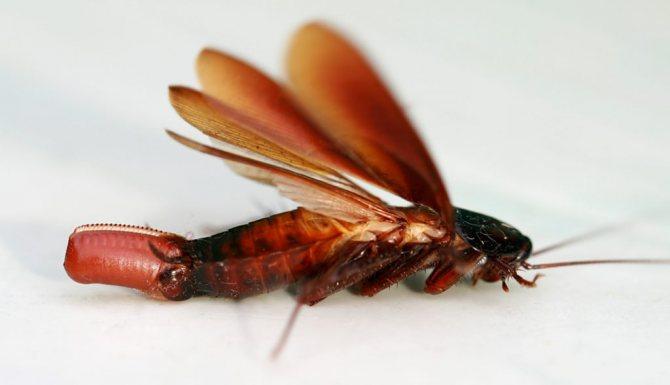 Если у тараканов крылья