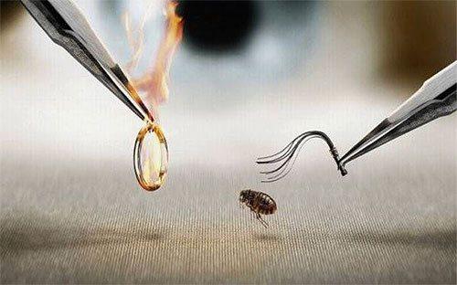 Если узнать, чего больше всего боятся блохи, то это вполне можно использовать для борьбы с паразитами в квартире и у животных.