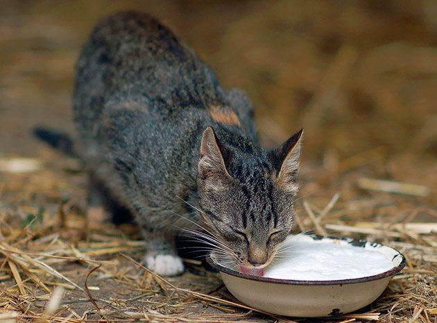 Если ваша кошка плохо переносит молоко, нужно постараться найти заменитель молока