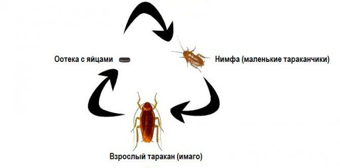 фазы развития тараканов