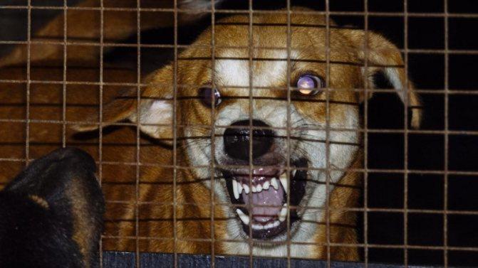 Финальная стадия бешенства у собак