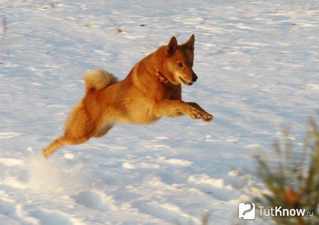 Финская лайка бежит
