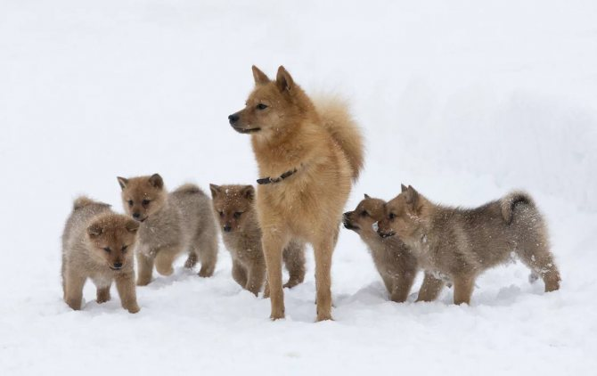финский шпиц с щенками