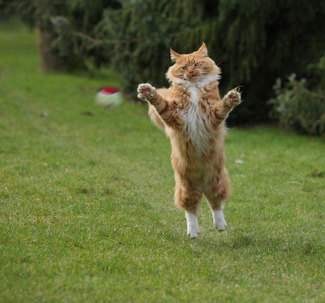Физическая активность на свежем воздухе или в пределах квартиры важна для каждой кошки