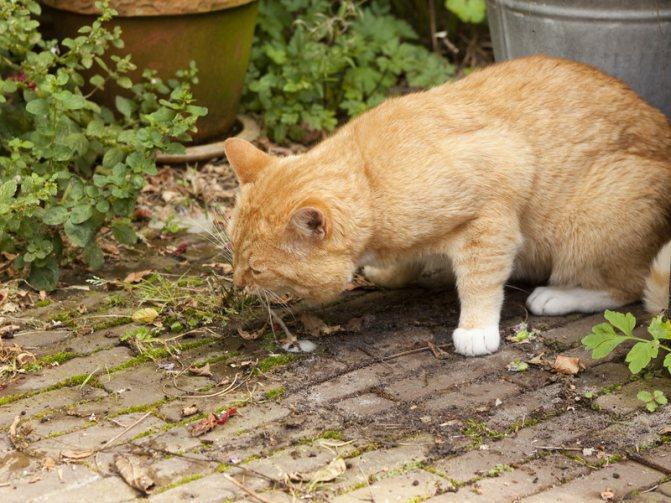 Физиологические причины рвоты у кошки белой пеной