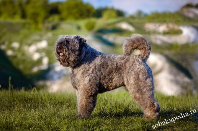 Фландрский бувье: характеристики породы собаки, фото