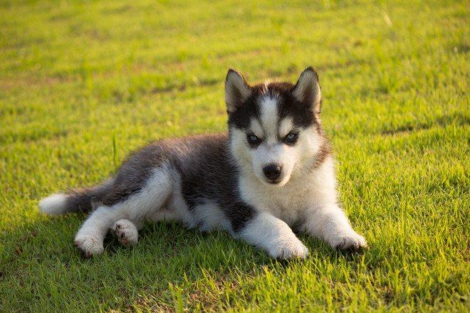 Формально собаку можно считать щенком в течение первых двух месяцев ее жизни