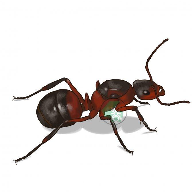 Formica rufa (рыжий лесной муравей)