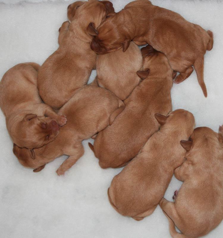 Фото 2-х дневных щенков лабрадора