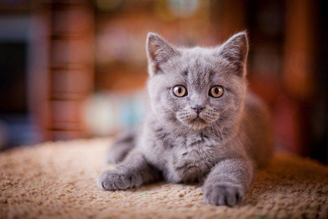Фото 2 - как назвать кота серого цвета